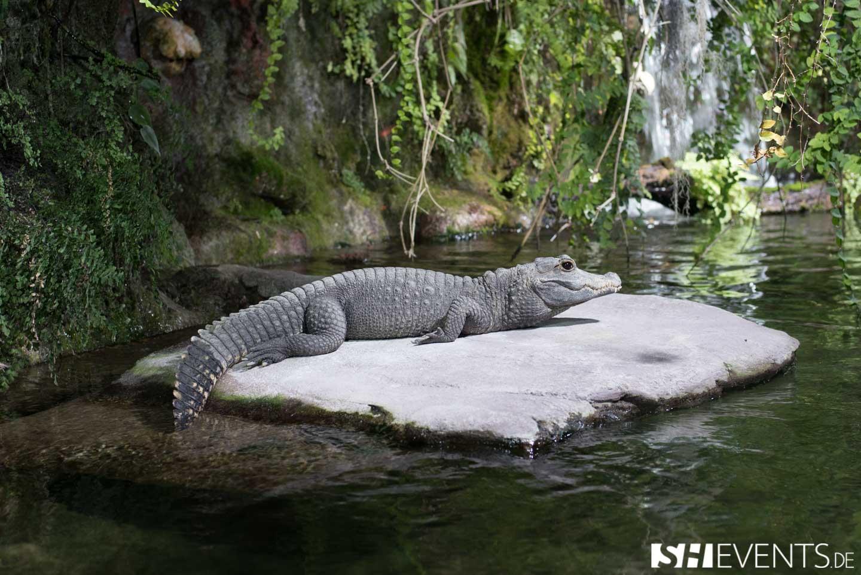 Alligator auf einem Stein und um ihn herum Wasser